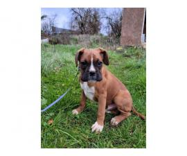 Akc boxer puppies 3 males available