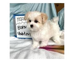 4 female Maltese Shih Tzu Puppies