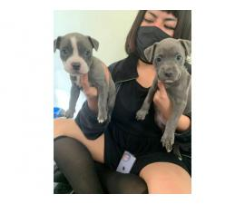 2 full blooded blue nose pitbull puppies