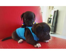 2 adorable Chiweenie puppies for adoption