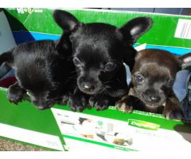 3 super cute Chihuahua puppies for sale