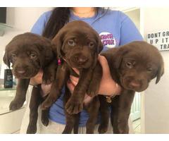 3 Purebred Chocolate Labrador puppies