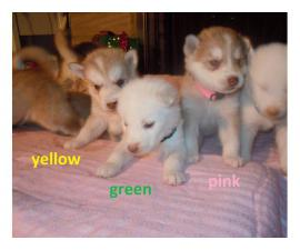 6 males and 1 female Alusky puppies for sale
