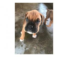 10 boxer puppies just in time for Christmas