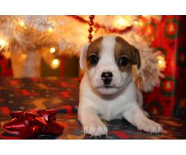 3 Jack Russell Christmas puppies