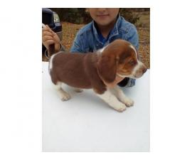 full blooded beagle puppies