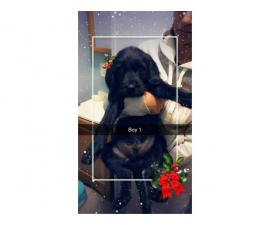 6 boys 2 girls Labradoodle puppies for sale