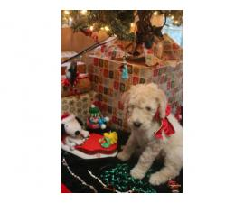 One Male Apricot Standard Poodle Puppy for Sale