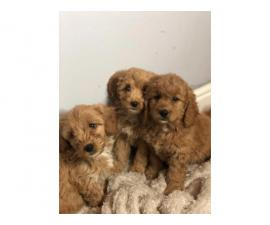5 Beautiful Litter Cavapoo Puppies