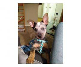 Sweet 3 months old Blue heeler puppy for sale