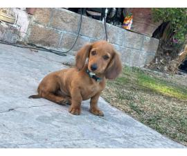 2 month old dachshund male puppy