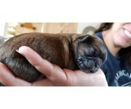 4 adorable Chilier puppies available