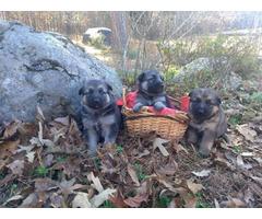 6 Purebred german shepherd puppies