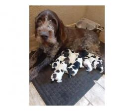 9 German Wirehaired Pointer Puppies for sale