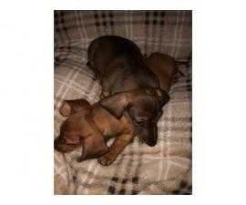 Miniature Dachshund puppies looking for responsible home