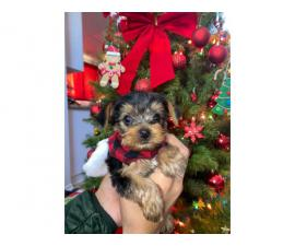 2 Yorkie puppies for Christmas