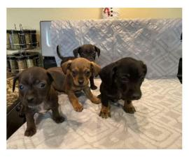 4 male Chiweenie Puppies looking for the best homes