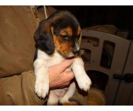 5 Beagle puppies available