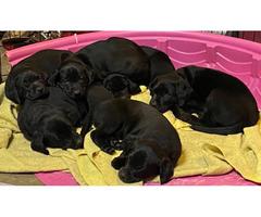 3 boys black Labrador puppies for sale
