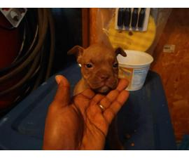 4 playful pitbull puppies ready now