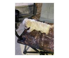 Female Maltipoo puppy