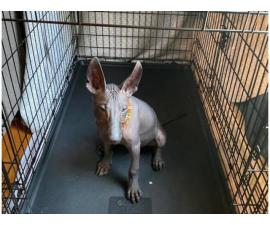 Male Xoloitzcuintli for sale