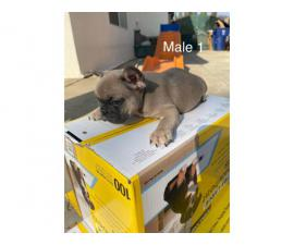2 males and 3 females Full AKC French bulldog puppies for sale