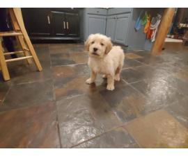 8 weeks Goldendoodle Puppies for Sale