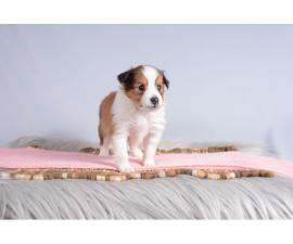 AKC Shetland Sheepdog Puppies