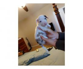 2 Harlequin Min Pin puppies for adoption