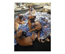 4 male 3 female Boxer puppies for sale
