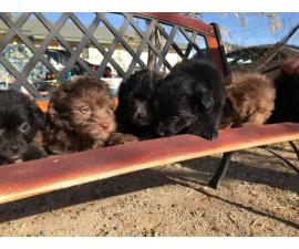 6 Maltipom puppies for sale