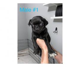 Beautiful 8 weeks old fullbreed Pug puppies available