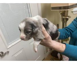 8 Mini Aussies looking for new homes