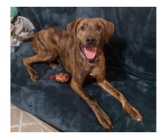 Male Plott Hound puppy deserves a good home