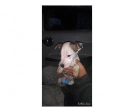 8 boy and 2 girl Pit puppies for adoption