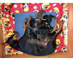 Litter of Purebred AKC registered Doberman puppies
