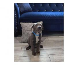 10 weeks old Gray and Brindle Cane Corso Puppies