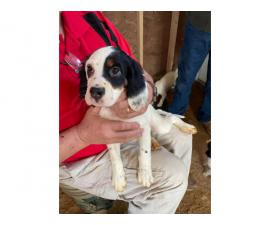 5 English Setter Puppies Available