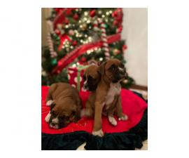 Purebred boxer puppies for sale