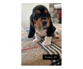 AKC basset hound male puppies for sale