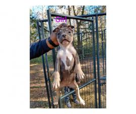 American Bully puppies for adoption