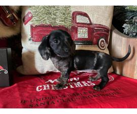 Adorable Purebred Dachshund Puppies