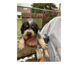 Bluetick Coonhound Puppies Need Forever Home