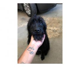 Female Labradoodle puppy rehoming now