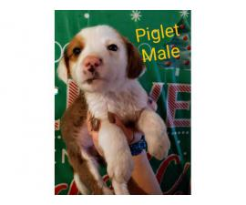 3 male Beagador puppies