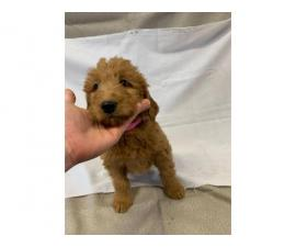 8 Labradoodle puppies for sale