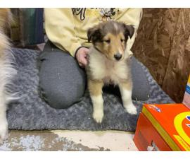 4 males and 4 females Registered Rough collie Puppies for sale