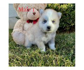 Beautiful 10 weeks old Pomsky puppies for sale