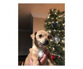 2 lovely Chiweenie puppies needing new home